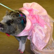 Westword Magazine: HIGH-FASHION PUPS — AND PIGS — STRUT THE RUNWAY AT THE ROCKY MOUNTAIN PET EXPO